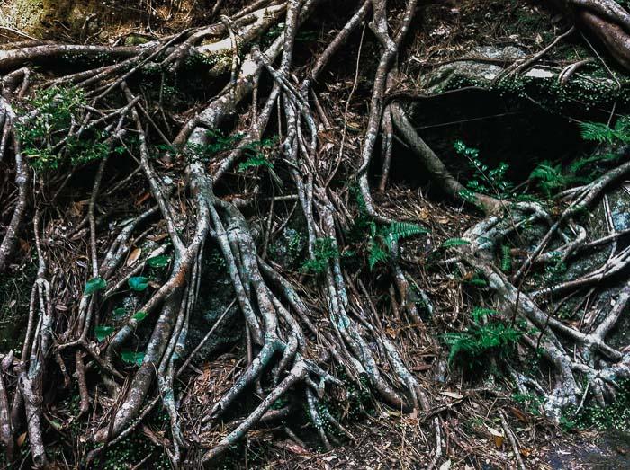 Tree roots in Yakushima