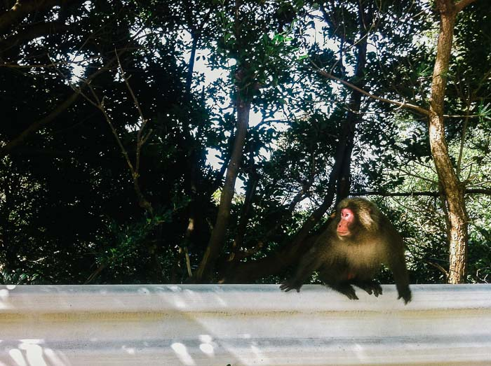 Monkey next to highway Yakushima Japan