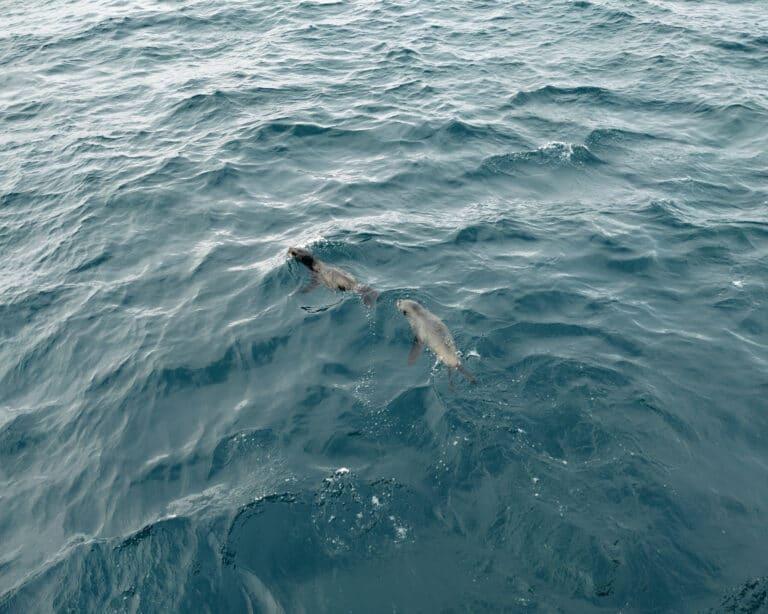 seals-seen-phillip-island-wild-life-cruise